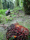 Fruit of oil palm