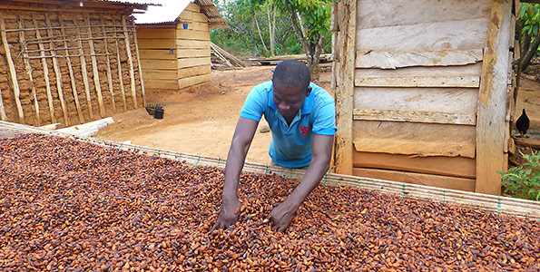 Cocoa farmer drying his cocoa beans (Photo: Lydia Afriyie-Kraft)
