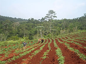 Typical landscape of mountain-agroecological zone, cropping fields worked by animal traction surrounded by evergreen forest.