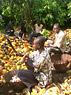 Farmer group breaking cocoa in communal labor, Antwi-Agyei Nkwanta, Ashanti Region, Ghana